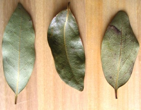 bay-leaves-11