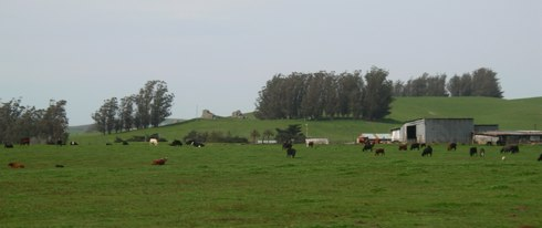 cows-in-tomales