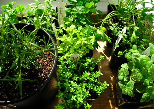 my-inside-herb-garden