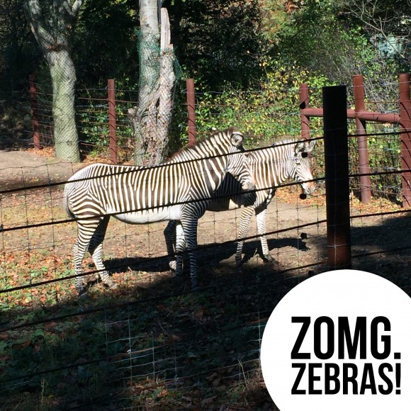 BAA Half Zebras at Franklin Park Zoo