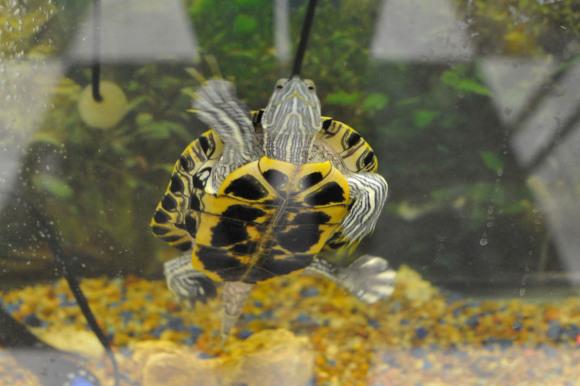 Carolines Classroom Turtle