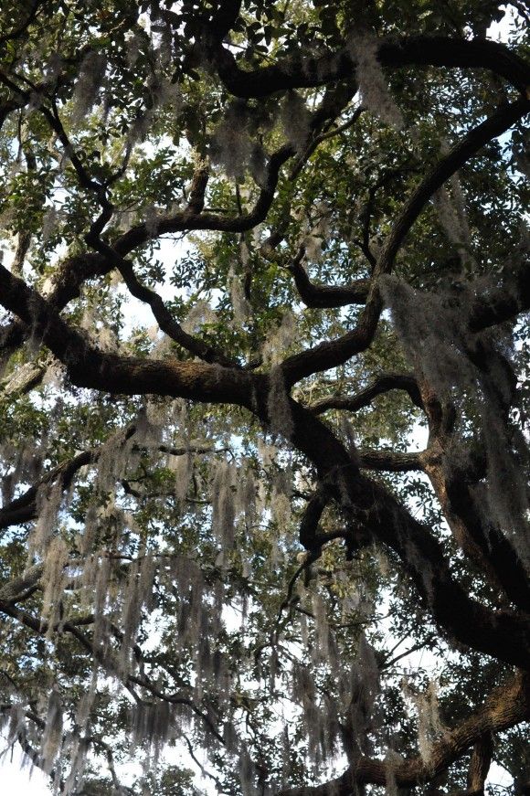 Live Oak Trees in Savannah