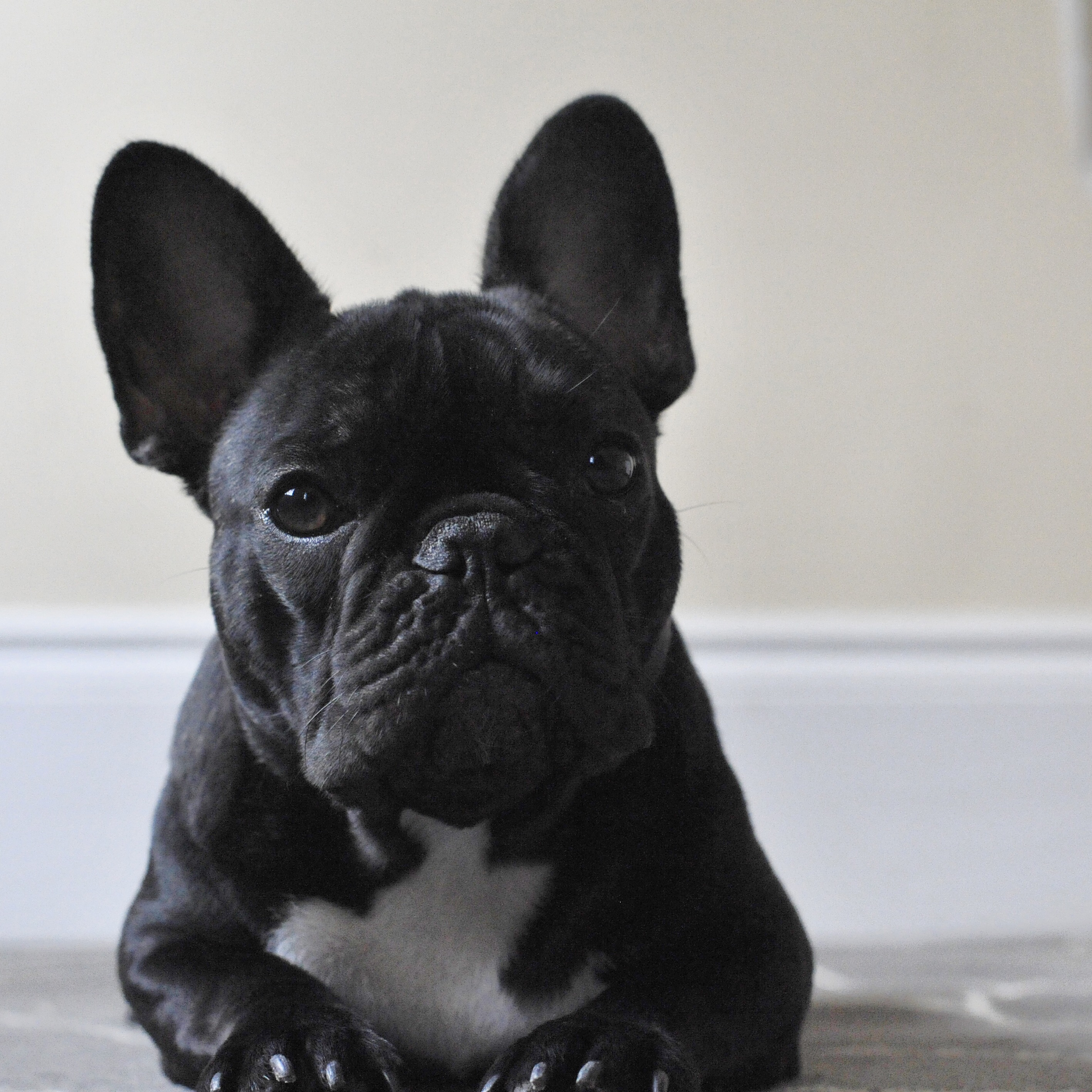 Bertram the Frenchie