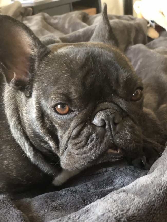 Bertram the Frenchie Sleepy Lip